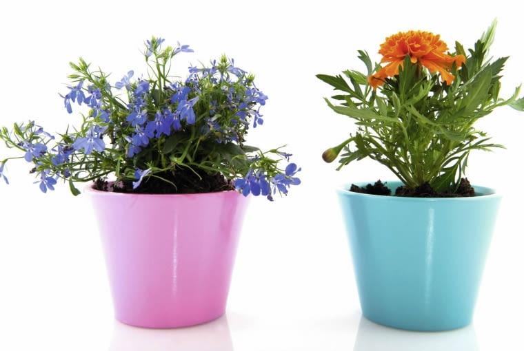 Urodę kwiatów podkreśla doniczka w kontrastowym kolorze. Na zdjęciu znajduję się lobelia w różowej doniczce, oraz aksamitka w błękitnej.