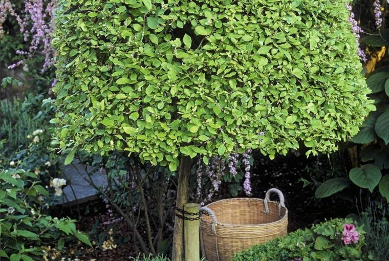 Salix caprea 'Kilmarnock SLOWA KLUCZOWE: Baum B ume Detail Details Garten Pflanze Pflanzen Portrait Standard Weide Weiden Hochformat