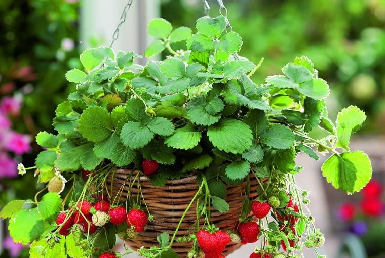 0Korb - Ampel mit Haenge - Erdbeeren ( Fragaria )