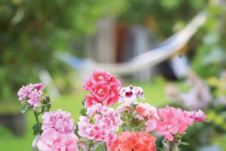 Kwiaty pelargonii (tutaj rabatowych) uroczo prezentują się także w wazonach.