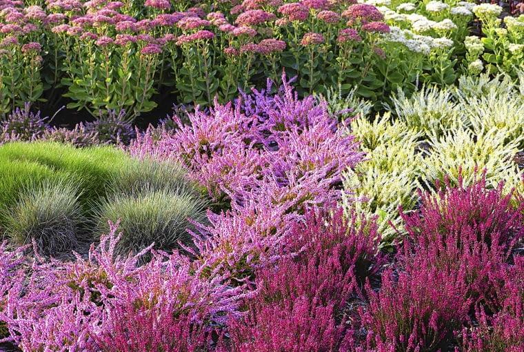 Wysokie rozchodniki okazałe świetnie komponują się z łanami różnobarwnych wrzosów oraz z szarymi kępami kostrzewy.