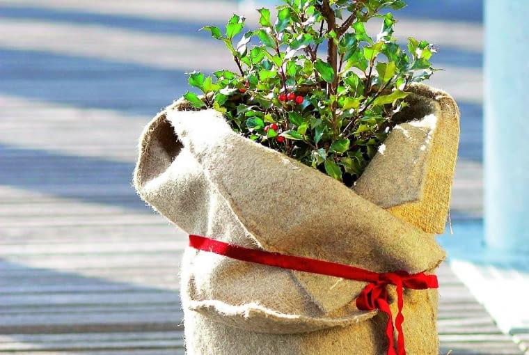 Rośliny zimozielone podlewamy w razie konieczności.