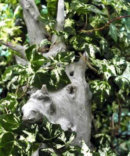 Pstrokata odmiana bluszczu pospolitego rośnie słabiej niż gatunek o jednolicie zielonych liściach