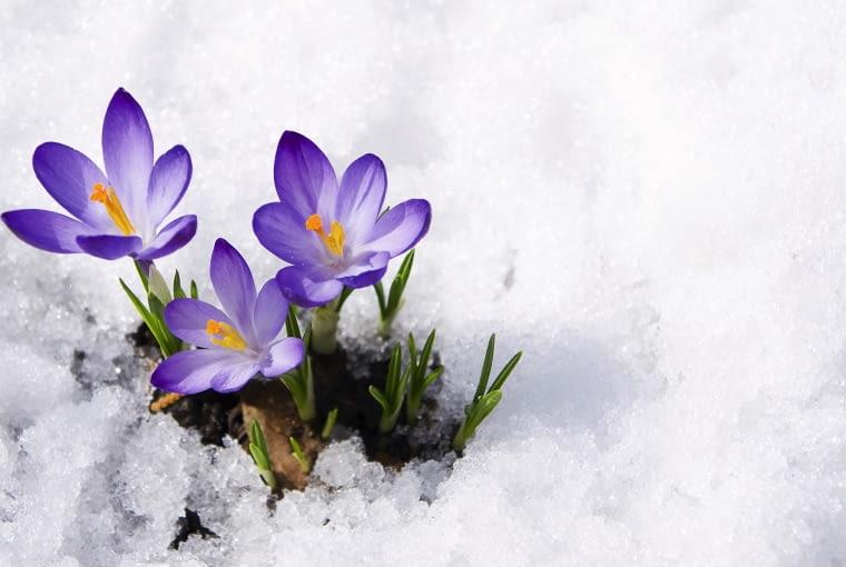 Krokusy (Crocus) rozwijają kwiaty nawet w śniegu.
