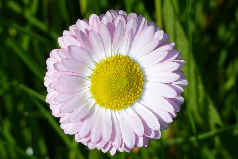 Stokrotki można sadzić w marcu i będą kwitnąć aż do lata