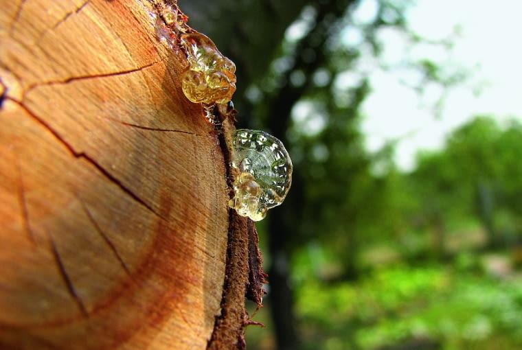 Na meble (a zwłaszcza siedziska) nie nadaje się drewno gatunków iglastych. Wydziela bowiem żywicę brudzącą ubrania.