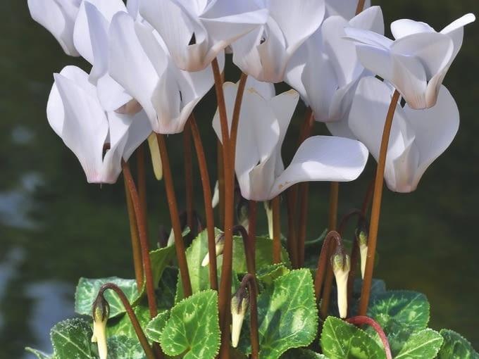 Cyklamen bluszczolistny (Cyclamen Hederifolium) Kwiaty (o długości 3-4 cm) rozwija późną jesienią, wznosząc je na wysokość ok. 15 cm. Są one w stanie przetrwać lekki mróz. Liście wyrastają nieco później i giną dopiero w kwietniu. W jednym miejscu - zacisznym i półcienistym, w próchnicznej, lekko wilgotnej ziemi - cyklamen ten rośnie kilka lat i powiększa bulwę, lecz by przezimować, wymaga okrywy śniegu lub ściółki. Wczesną jesienią można kupić jego bulwy, a w późniejszym terminie kwitnące w doniczkach okazy.
