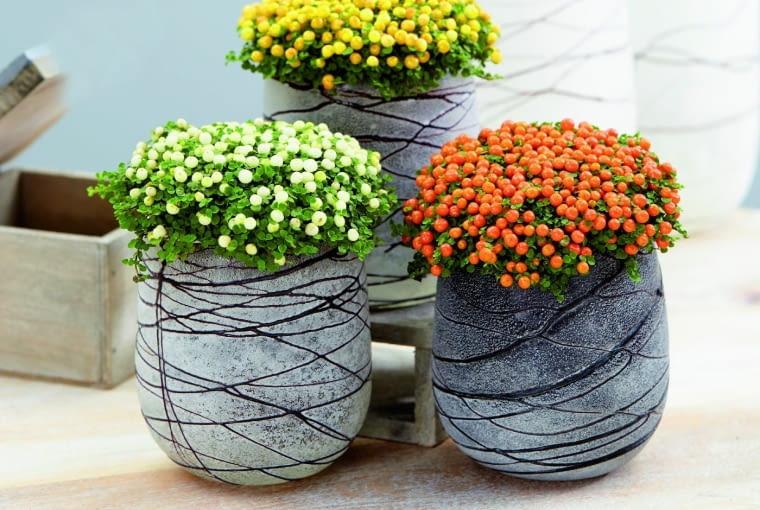 Nertera granadensis collection