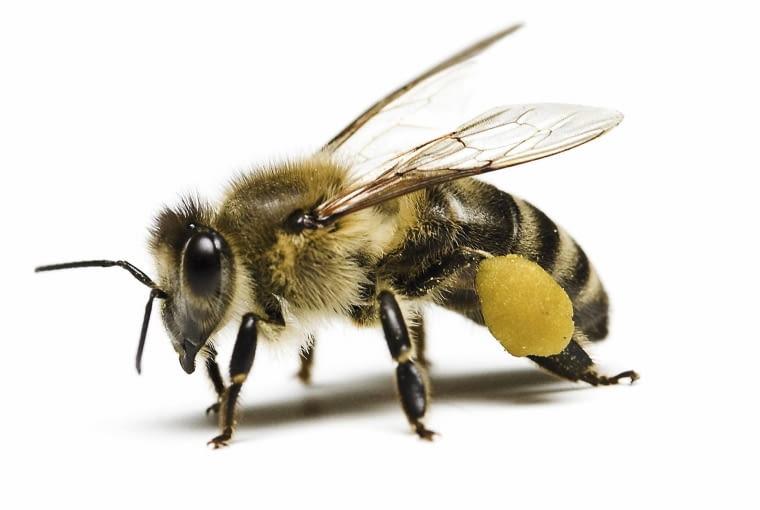 Pszczoła z uzbieranym pyłkiem