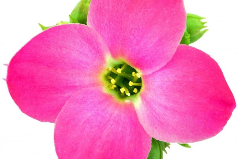 Kalanchoe - kwiat w zbliżeniu.