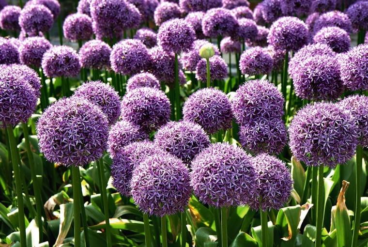 Czosnek olbrzymi - jego kwiatostany osiągają średnicę do 15 cm!
