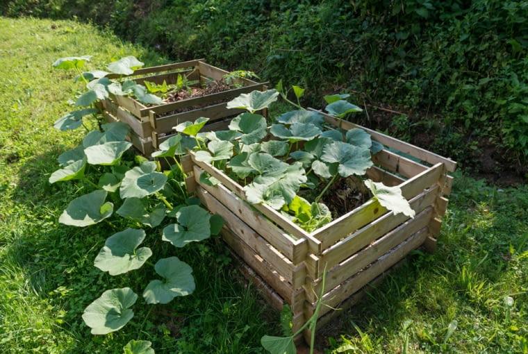 Na zdjęciu widzimy sadzonki cukinii, które posadzono bezpośrednio w kompoście, zasłaniając w ten sposób ten nieciekawy zakątek ogrodu, a jednocześnie zapewniając sobie obfite zbiory tego warzywa. W kompost możemy też wsadzić kilka pestek dyni, urośnie naprawdę piękna i nie zabierze nam cennego miejsca na grządce (a potrzebuje go naprawdę dużo).
