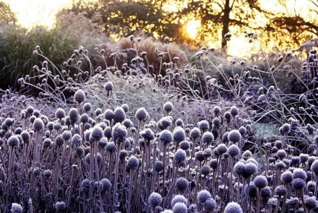 Trwałe kwiatostany przegorzanu pobielone szronem są olśniewająco piękne