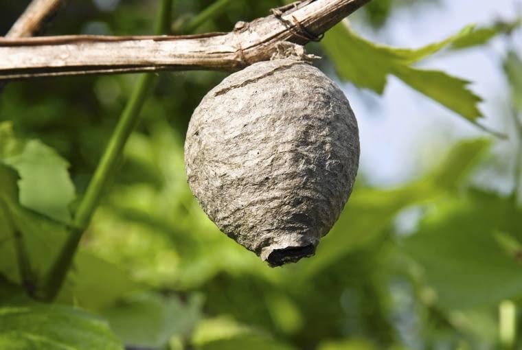 W gnieździe os może mieszkać nawet kilkaset owadów. Życie tętni w nim aż do pierwszych przymrozków.