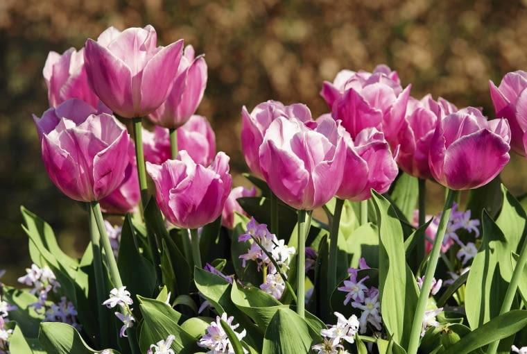 IBC-16april07 0009 ZDJĘCIE DO WKŁADKI: Dry Bulbs & Springflowering bulbs
