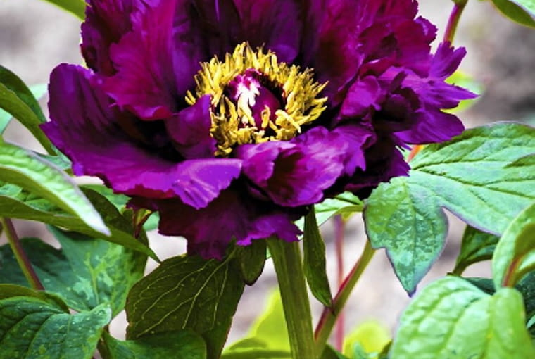 Odmiany o kwiatach ciemnopurpurowych mają płatki połyskujące niczym szlachetny jedwab. Najpiękniej wyglądają w towarzystwie krzewów o kwiatach różowych bądź białych