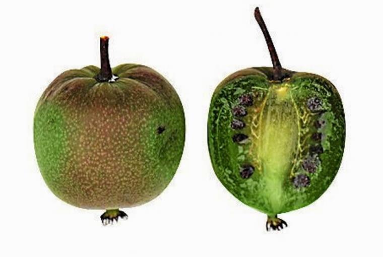 Owoce kiwi z własnego ogrodu. 'GENEVA' (aktinidia ostrolistna) Owoce pękate, słodkie, z miodowym posmakiem i lekkim aromatem, o długości ok. 3 cm. W słońcu pokrywają się rumieńcem. Mają tendencję do opadania. Zbiór pod koniec września.