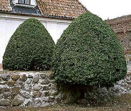 Ałycze formowane na kształt drzewka ze stożkowatą koroną.