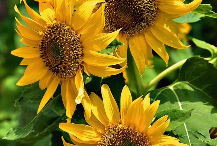 Słonecznik - koszyczki jego kwiatów świecą w ogrodzie jak słońce.