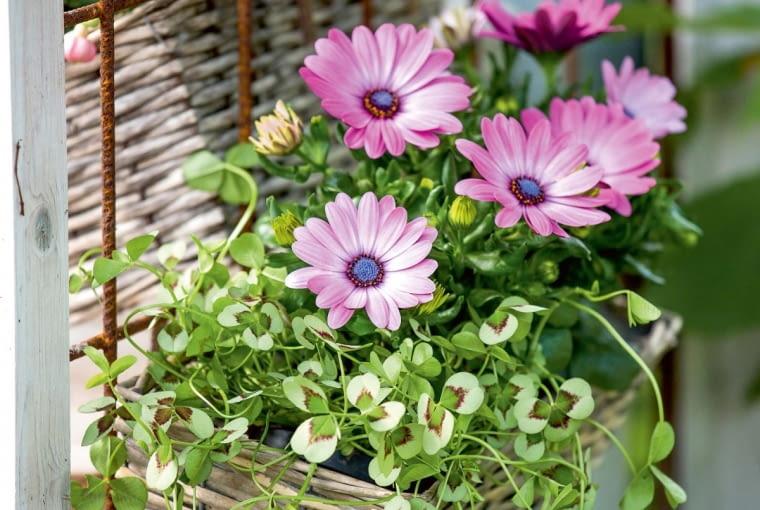 OSTEOSPERMUM (Osteospermum) zwane też stokrotką afrykańską kwitnie długo iobficie przez cały sezon. Wtej kompozycji towarzyszy mu koniczyna ozdobna obiało zielonych liściach.