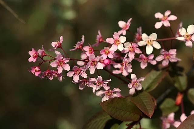 Prunus padus 'Colorata'