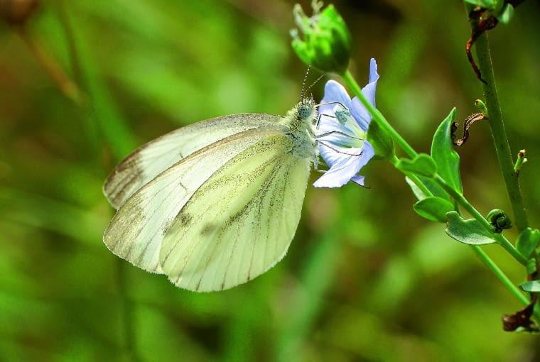 Bielinek kapustnik na kwiatku lnu
