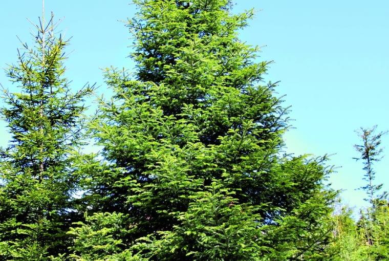 Jodła pospolita (nazywana też białą) jest długowiecznym drzewem, dorastającym nawet do 50 m.