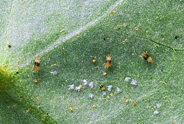 Na dolnej stronie liści bluszczu pod lupą widać pajączki. Przyczyna: przędziorki i ich larwy.