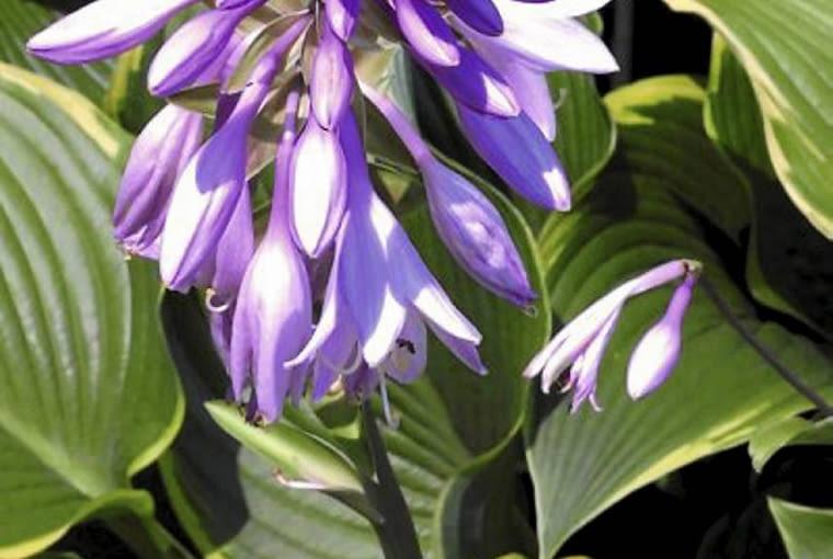 Hosta in bloom. SLOWA KLUCZOWE: nature plant flower hosta blossom petal blue white green yellow