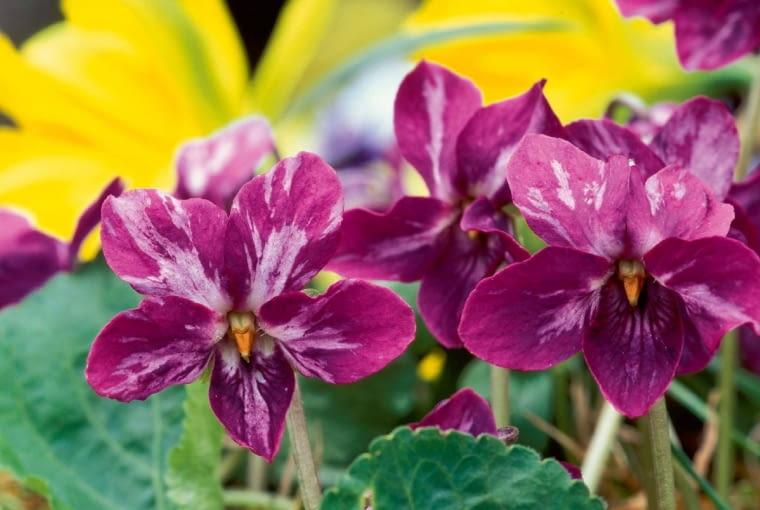 Odmiana mieszańcowa to krzyżówka fioletowej i białej.