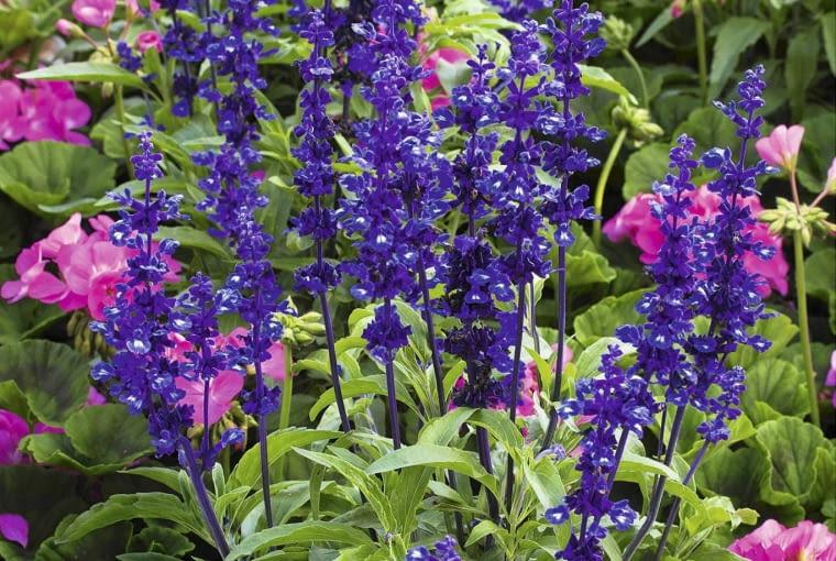 SALVIA FARINACEA 'VICTORIA BLUE' SLOWA KLUCZOWE: Juli Pflanze Sommer