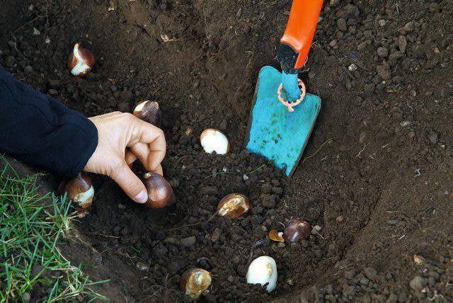 Październik jest miesiącem sadzenia cebul.
