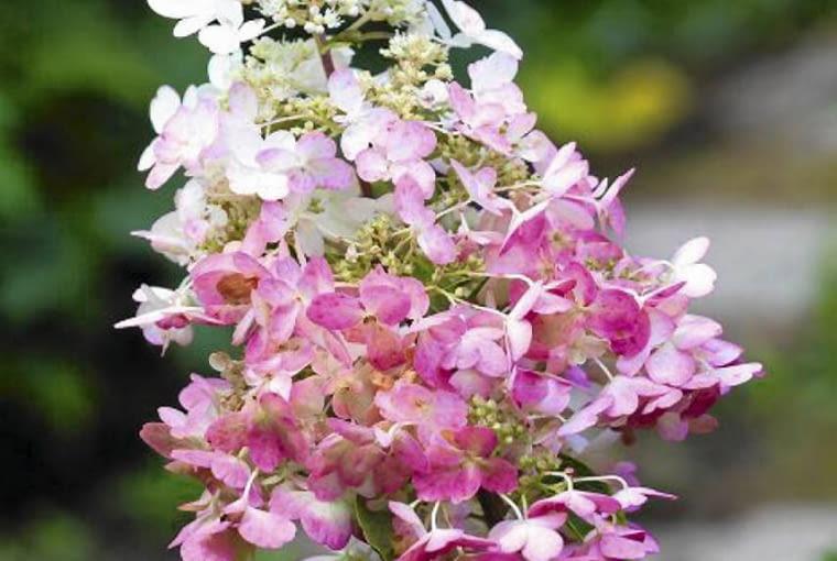 SLOWA KLUCZOWE: PINKIE WINKIE hortensja hydrangea paniculata