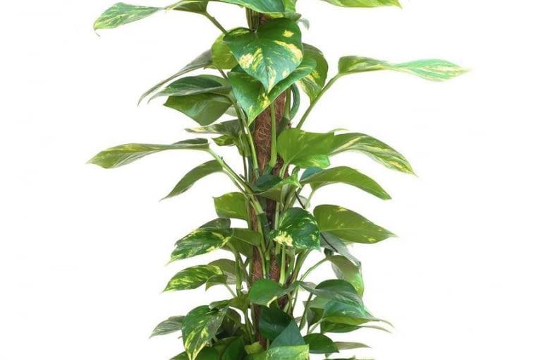 EPIPREMNUM nie ma prawie żadnych wymagań. Pnącze to jest dobre do półcienia. Znosi nieregularne podlewanie.