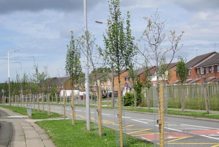 Świeżo posadzone drzewka trzeba podlewać bardzo regularnie przez całe lato i jesień.