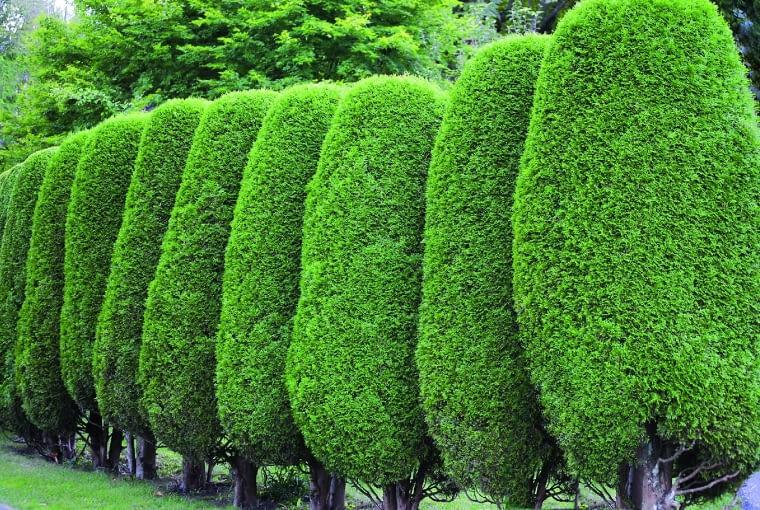 """Grabowe """"murki"""" dzielą ogród na zakątki. Suche listki nie opadają jesienią, żywopłot spełnia więc swoją funkcję również zimą."""