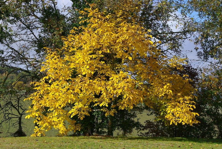 Orzech włoski uważany jest także za drzewo ozdobne. jego liście jesienia zółkna i opadają