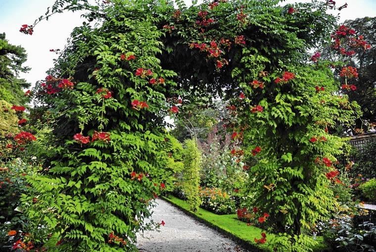 Burza Czerwonych Kwiatów i gąszcz liści na mocnej, metalowej pergoli obok bylinowych rabat.