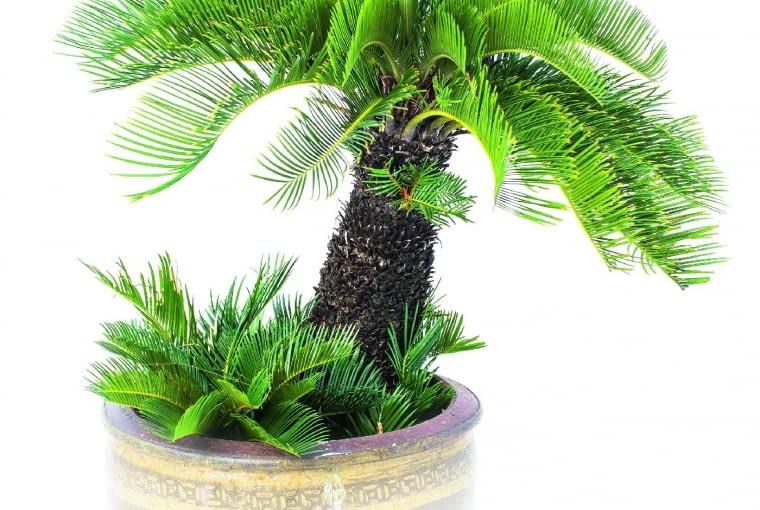 Wieloletnie okazy sagowca tworzą dość wysoką kłodzinę zpióropuszem liści na czubku. Wydają też odrosty boczne. Ich korzenie potrafią wnaturze współżyć zsinicami, które wiążą azot zpowietrza, jeśli podłoże jest ubogie.