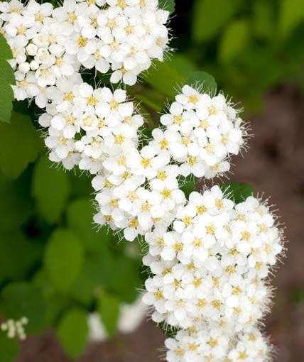 Tawuła Van Houtte'a pyszni się białymi kwiatami od połowy maja. Rośnie szeroko