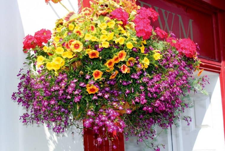 Pomysł na tę rabatę polega na zestawieniu mocnego różu werbeny z ostrą żółcią petunii Million Bells. Aby urozmaicić kolorystykę kompozycji, dodano pomarańczowy akcent w postaci dorodnej petunii. Z każdego kosza powinno się coś zwieszać, wypełniać przestrzeń masą kwiatów i listków. Tutaj tę rolę pełni delikatna lobelia o malutkich purpurowych kwiatkach z białymi oczkami.