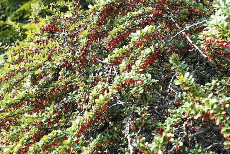BERBERYS THUNBERGA osiąga 1,5-2 m wysokości. Ma kopulasty pokrój, żółte kwiaty i koralowoczerwone owoce