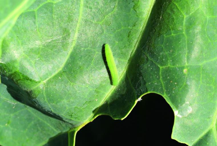 dziury i gąsienice na liściach kapusty- bielinek kapustnik.