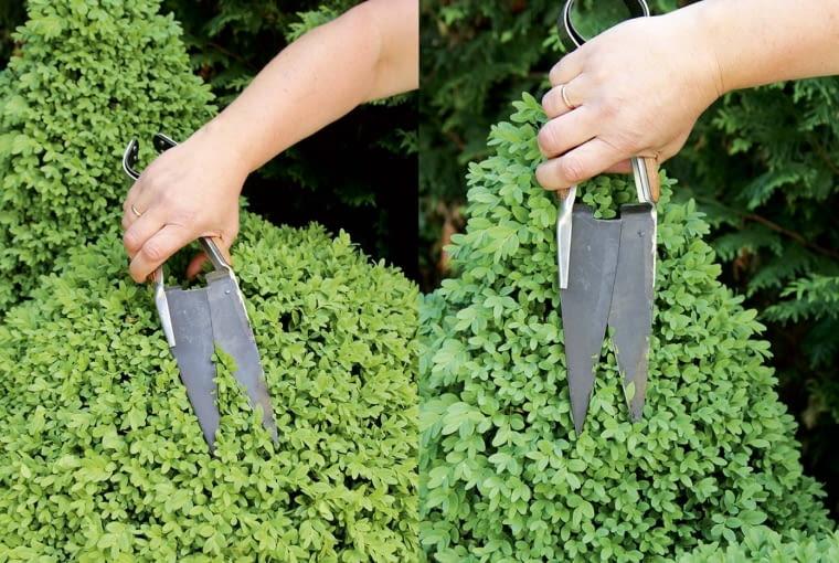 Nożyce 'owczarskie' to moje ulubione narzędzie do cięcia bukszpanów. Pracuje się nimi wygodnie i precyzyjne. Mniej niszczą liście niż ciężkie sekatory.
