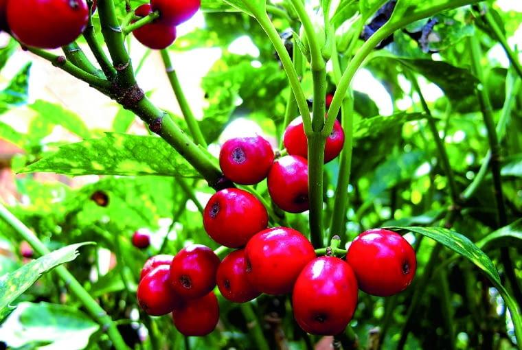 Owoce aukuby, zawiązujące się uroślin wcieplejszym klimacie, mają do 1 cm średnicy izdobią ukubę przez kilka miesięcy.
