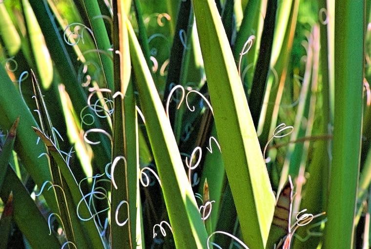 Juka karolińska nazywana jest też nitkowatą za sprawą odchodzących od liści włókien.