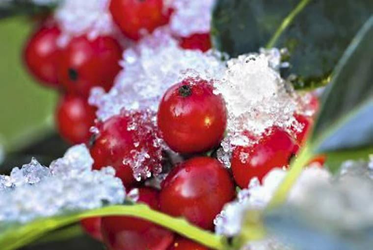 Frost covered holly (Ilex aquifolium) 'J C Van Tol' SLOWA KLUCZOWE: frost Ilex aquifolium holly winter