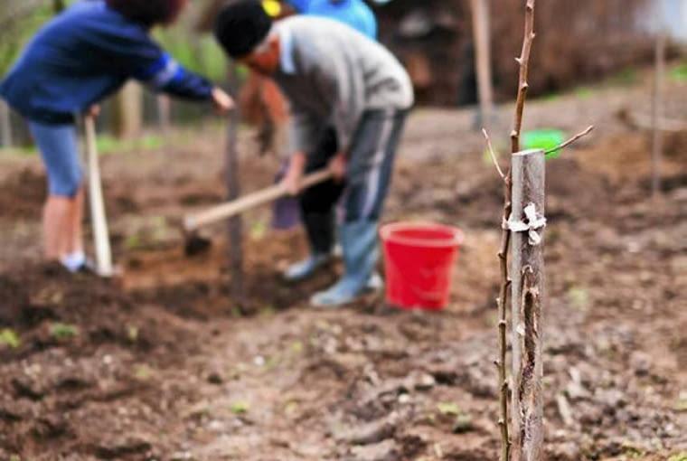 Drzewka najlepiej sadzić we dwoje. Jedna ososba ustawia drzewko w dołku i pilnuje, by pień i palik były w pionie, druga osoba wrzuca do dołka ziemię i delikatnie ją udeptuje.