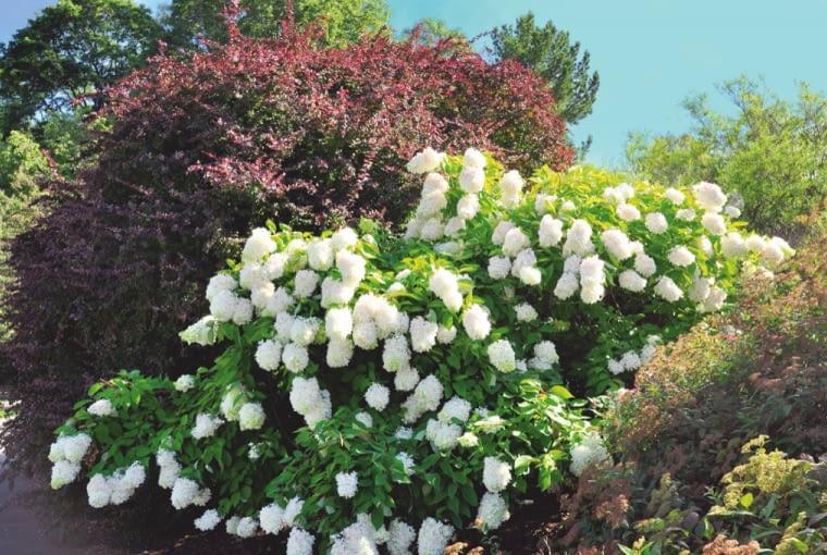 Śnieżnobiałe kwiatostany pięknie prezentują się na tle bordowego krzewu berberysu.