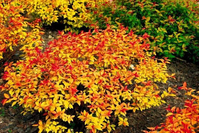 Tawuła japońska (Spiraea japonica) 'Gold Flame'